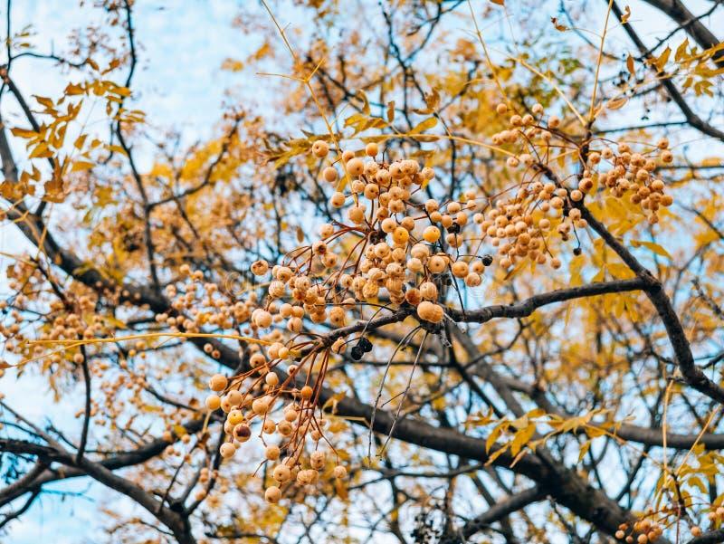 Gelbe Frucht eines Anlagenmelia azedarach auf einem Baum Anlagen von Montag lizenzfreie stockfotografie