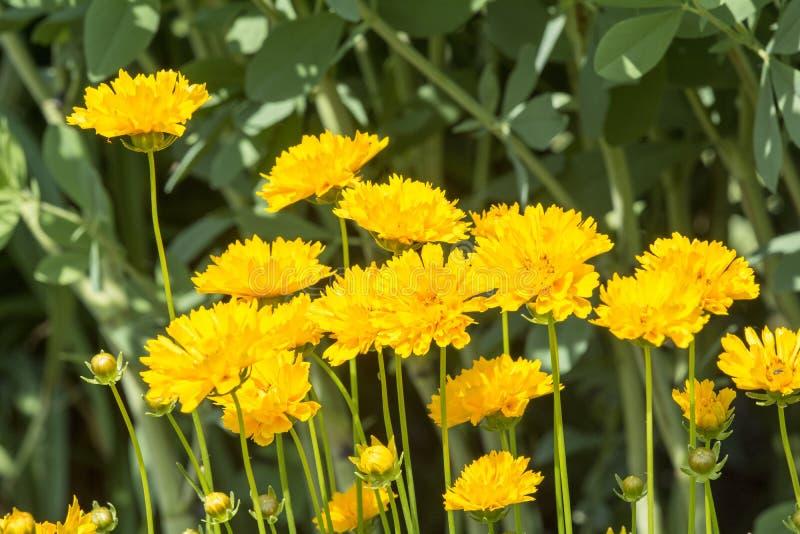Gelbe Gänseblümchen stockbild