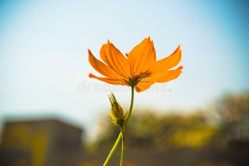 Gelbe Gänseblümchen des Hintergrundes, buntes Universum Ein schönes und ein ch stockfoto