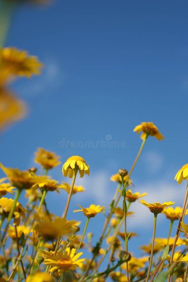 Gelbe Gänseblümchen und blauer Himmel lizenzfreies stockbild