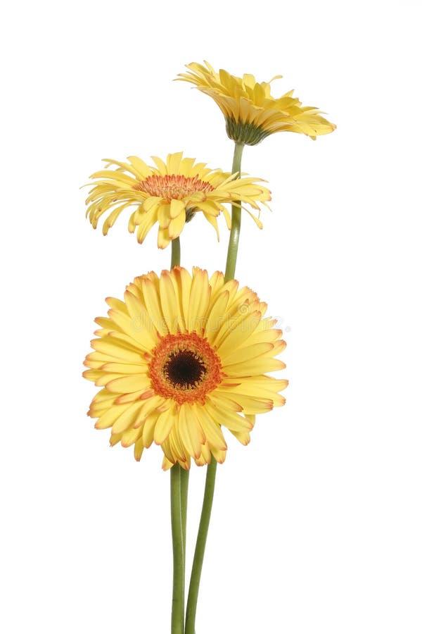 Gelbe Gänseblümchenblume des Gerbera drei stockfotografie