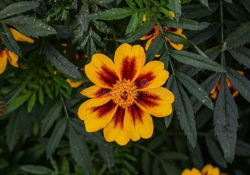 Gelbe Gänseblümchenblume, die am Garten blüht lizenzfreie stockfotos