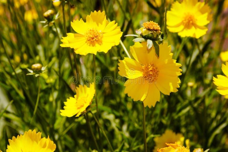 Gelbe Gänseblümchenwiese gegen einen blauen Himmel lizenzfreies stockfoto