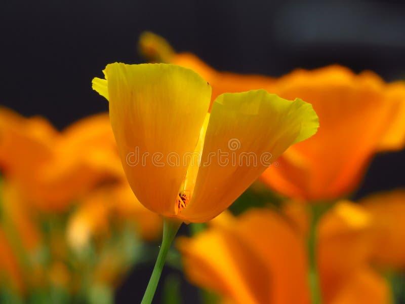 Gelbe Gartenblumen der Mohnblume Kalifornien-Mohnblume Orange gelbe Blumennahaufnahme auf unscharfem Hintergrund lizenzfreie stockfotografie