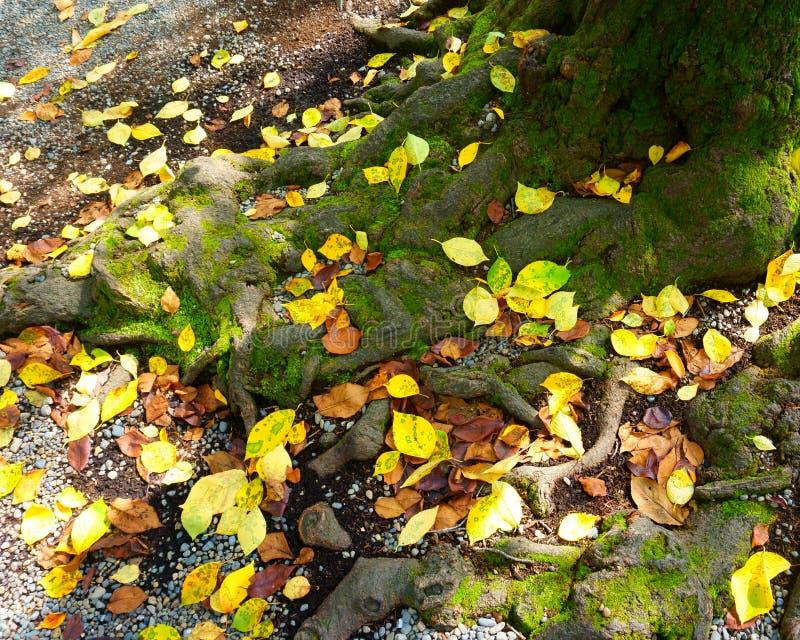 Gelbe gefallene Bl?tter des Herbstes Wurzeln, Barke eines alten Baums bedeckt mit Moos stockfotografie