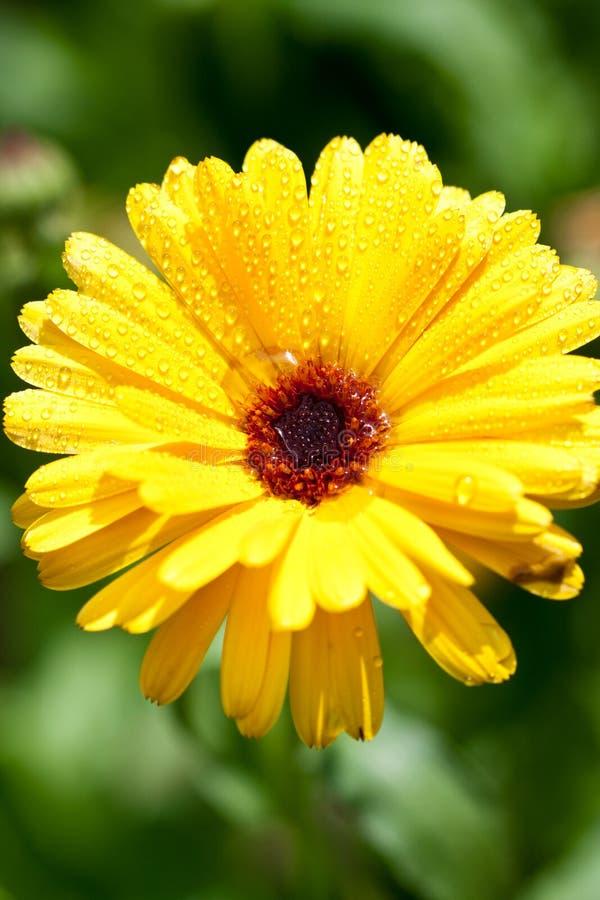 Gelbe gerber Blume mit Wassertropfen stockbilder
