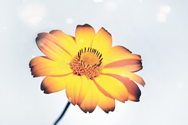 Gelbe Gerbera-, Gänseblümchen- oder Bellisblume auf einem blauen glänzenden Hintergrund stockfotografie
