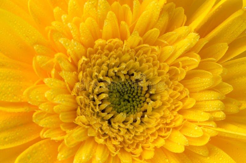 Gelbe Gerberablume stockfotografie