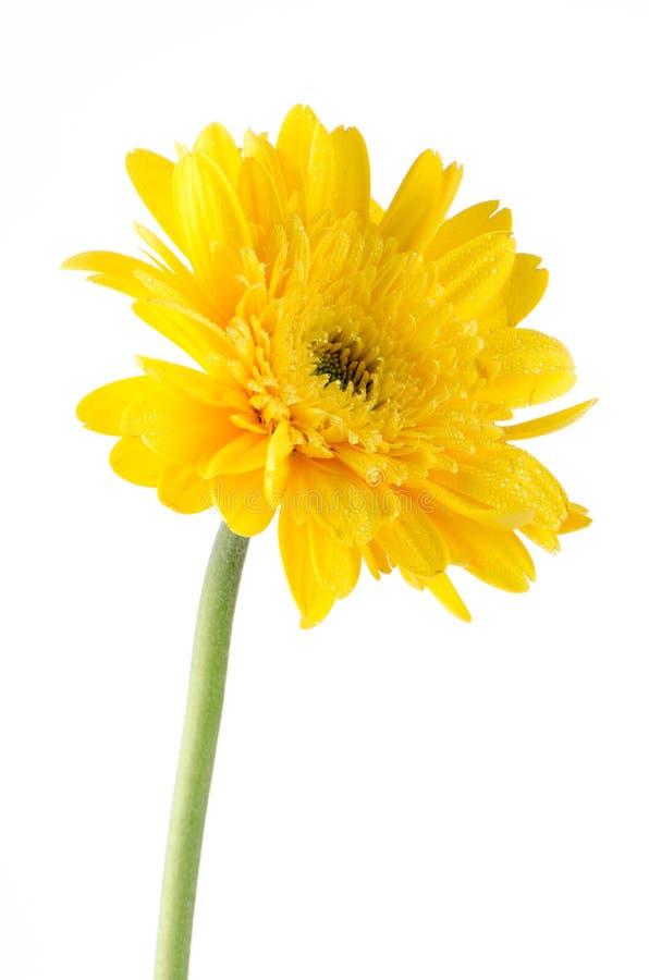 Gelbe Gerberagänseblümchenblume stockbild