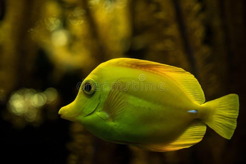 Gelbe Geruch Zebrasoma-flavescens, Korallenrifffische, Salzwassermeeresfisch, schöner gelber Fisch mit tropischen Korallen lizenzfreie stockfotografie