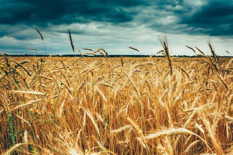 Gelbe goldene reife Gersten-Ohren auf dem Sommer-Weizen-Gebiet Schwermütige Dunkelheit lizenzfreies stockbild
