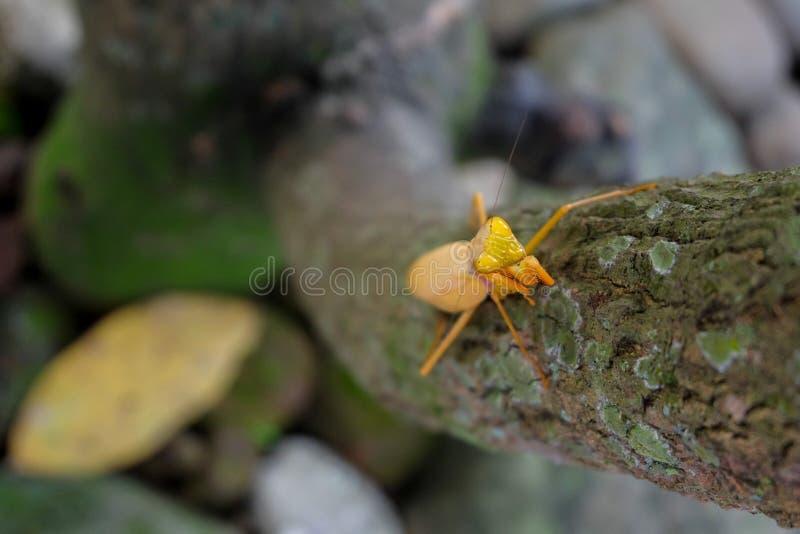 Gelbe Gottesanbeterin auf dem Baum stockbilder