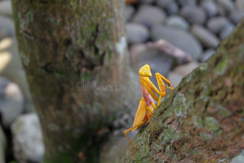 Gelbe Gottesanbeterin auf dem Baum lizenzfreie stockfotografie