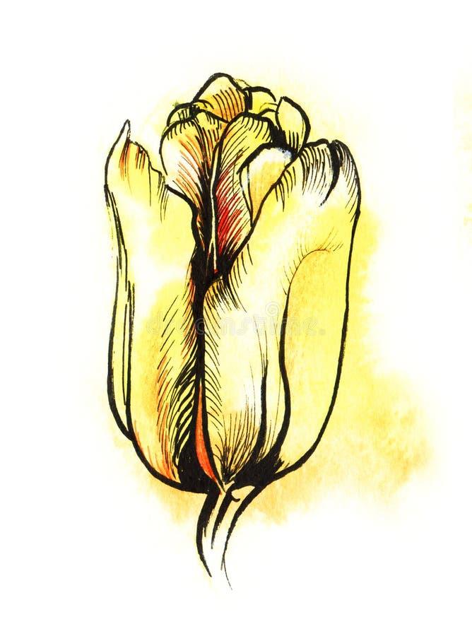 Gelbe Hand der Tulpe Farb, welchedie schwarze Tinten- und Aquarellskizze lokalisiert auf weißem Hintergrund zeichnet stock abbildung