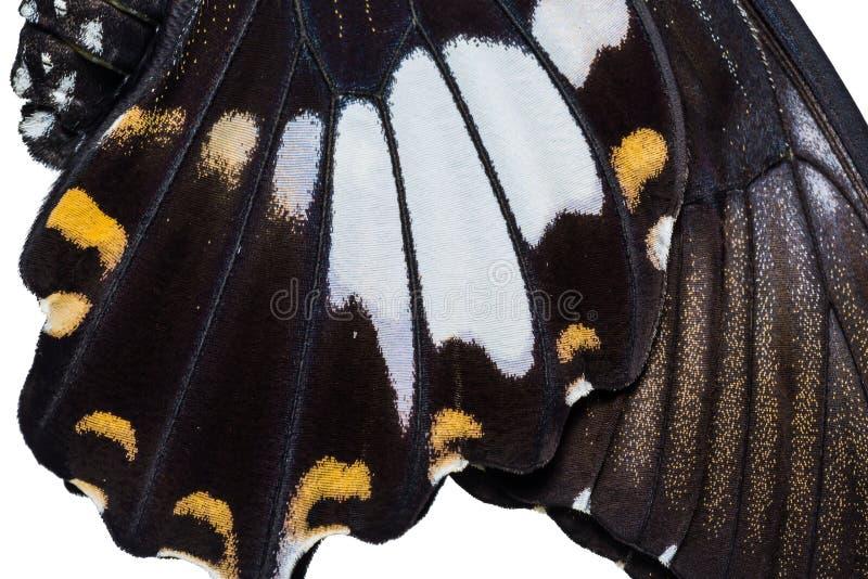 Gelbe Helen oder Schwarzweiss--Helen Papilio-nephelus Schmetterling stockfotografie
