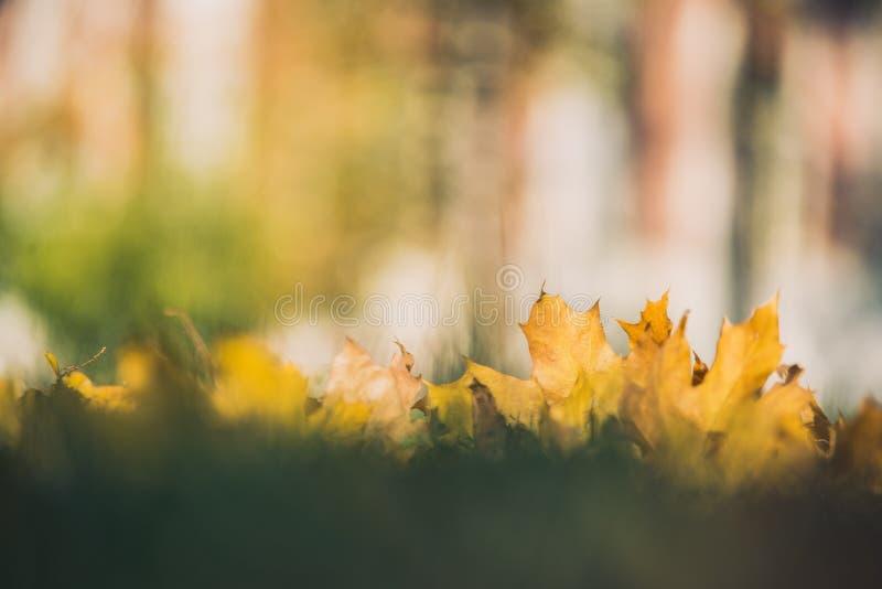 Gelbe Herbstahornblätter auf grünem Gras Bokeh verwischte künstlerischen Hintergrund lizenzfreie stockfotos