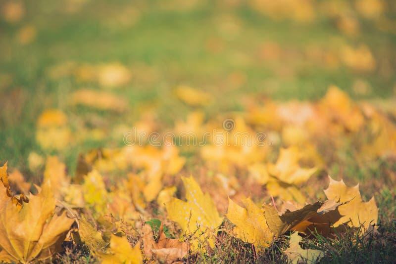 Gelbe Herbstahornblätter auf grünem Gras Bokeh verwischte künstlerischen Hintergrund stockbilder