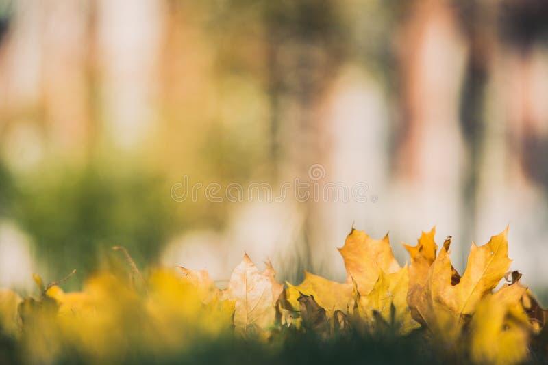 Gelbe Herbstahornblätter auf grünem Gras Bokeh verwischte künstlerischen Hintergrund stockfoto