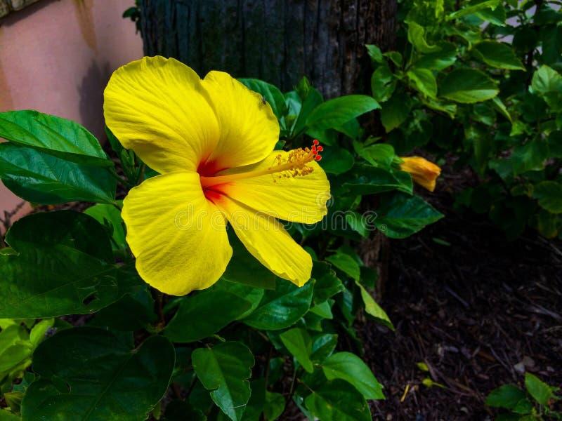 Gelbe Hibiscusblume stockfotografie