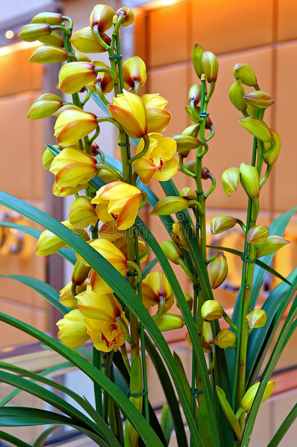 gelbe hybride orchideen stockfoto bild von bl te. Black Bedroom Furniture Sets. Home Design Ideas
