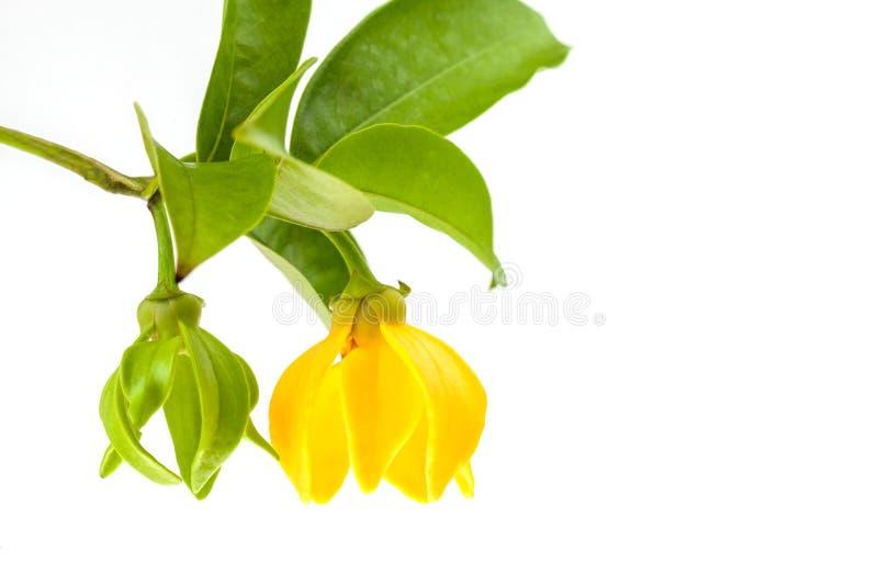 Gelbe Ilang-Ilang Blume stockfotografie
