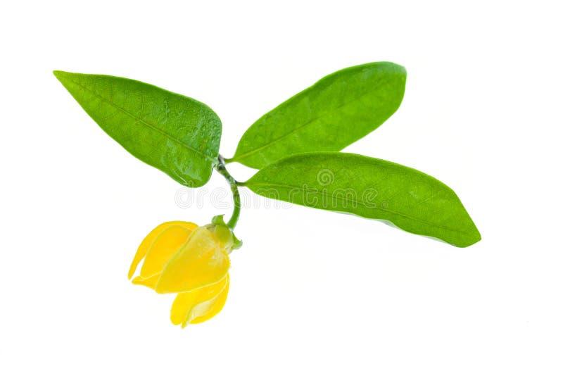 Gelbe Ilang-Ilang Blume stockbild
