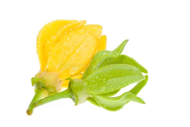 Gelbe Ilang-Ilang Blume stockbilder