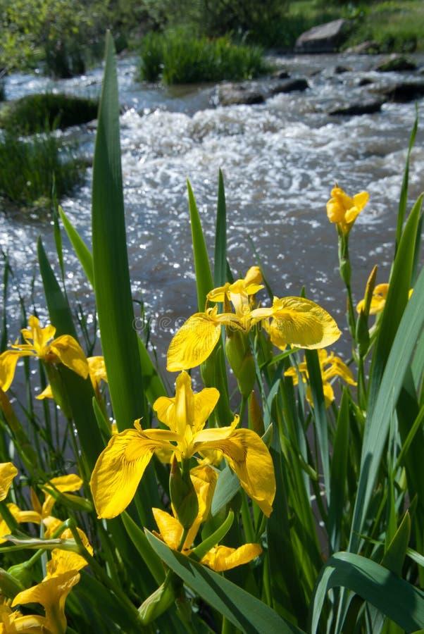 Gelbe Iris lizenzfreie stockbilder