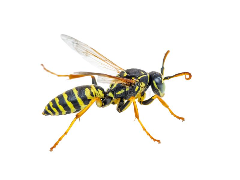 Gelbe Jacken-Wespen-Insekt lokalisiert auf Wei? stockbild