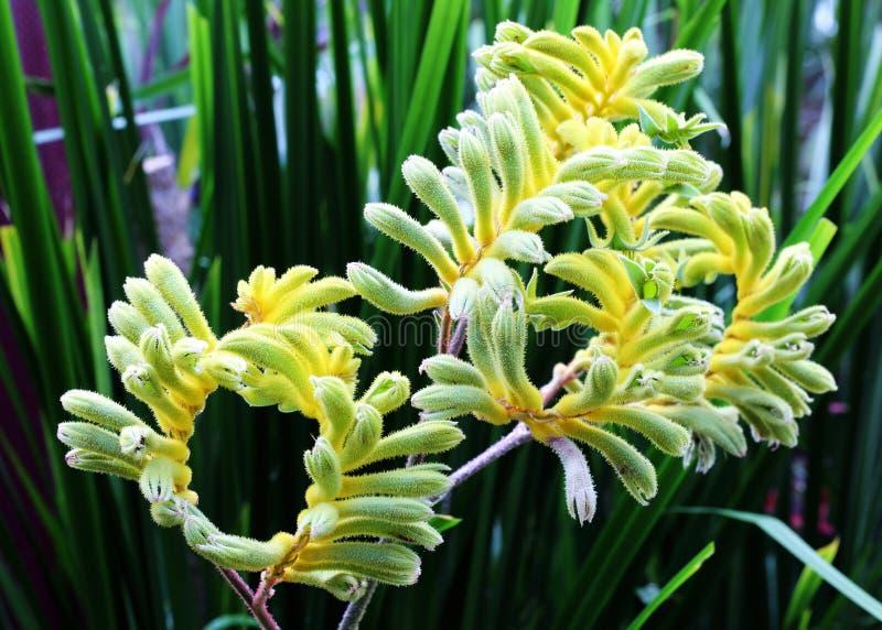 Gelbe Känguru-Tatze (australischer Wildflower - Anigozanthos-pulche stockbild