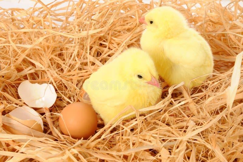 Gelbe Küken im Nest stockbilder