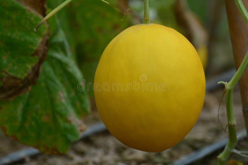 Gelbe Kantalupenmelonenfrucht auf der Rebe stockbilder