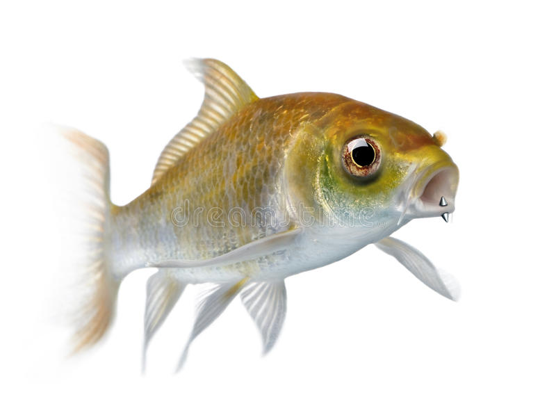 Gelbe Karpfenfische mit Munddurchdringen stockbild