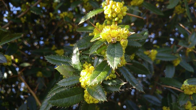Gelbe Knospen auf stacheligen Blättern und Widerhaken stockfoto