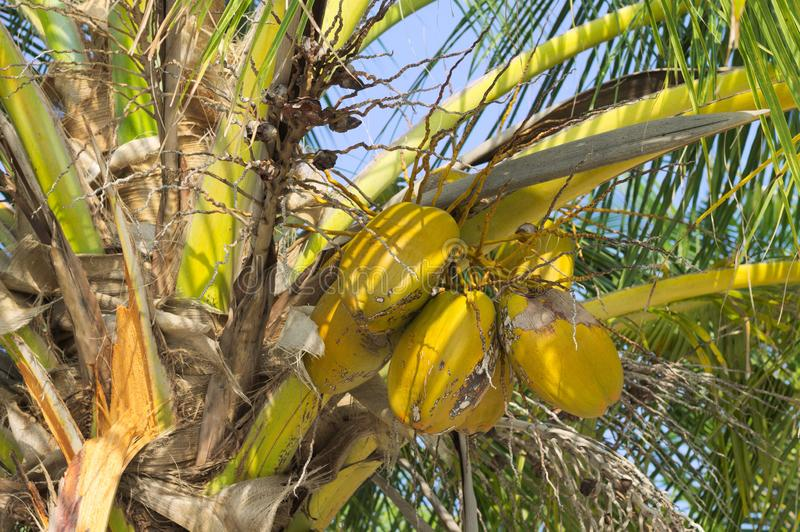 Gelbe Kokosnüsse auf den Malediven der Palme stockbilder