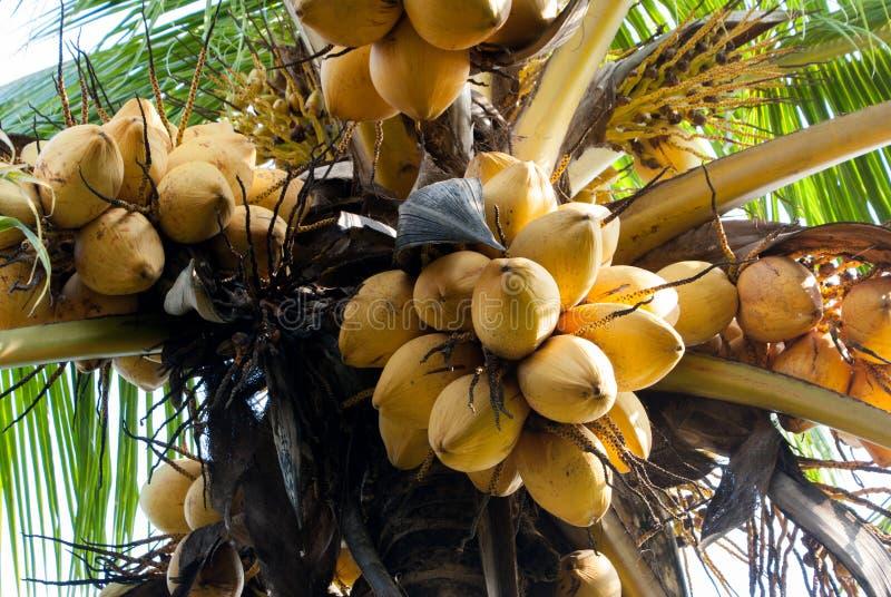Gelbe Kokosnuss am Baum lizenzfreie stockfotografie