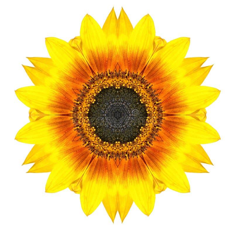 Gelbe konzentrische Sonnenblumen-Blume lokalisiert auf Weiß. Mandala Design stockbilder
