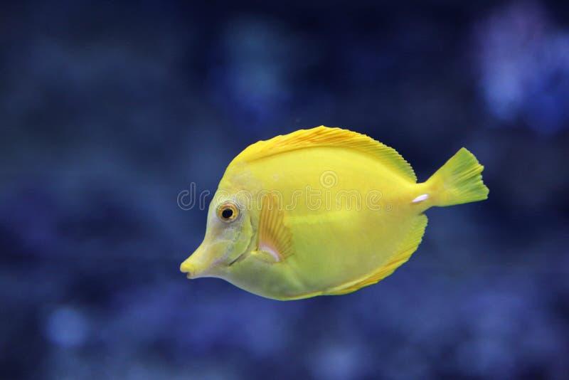 Gelbe Korallenrifffische unter Wasser lizenzfreie stockfotografie