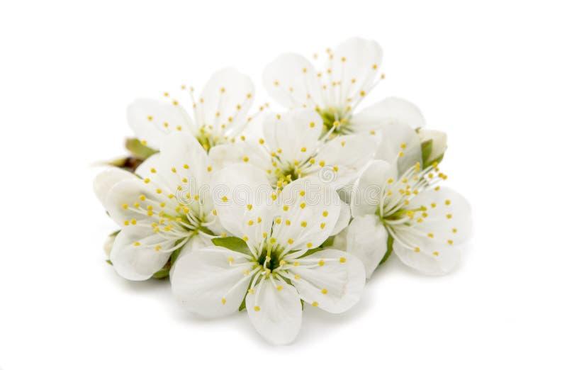 Gelbe Kornelkirsche-Blume stockbilder