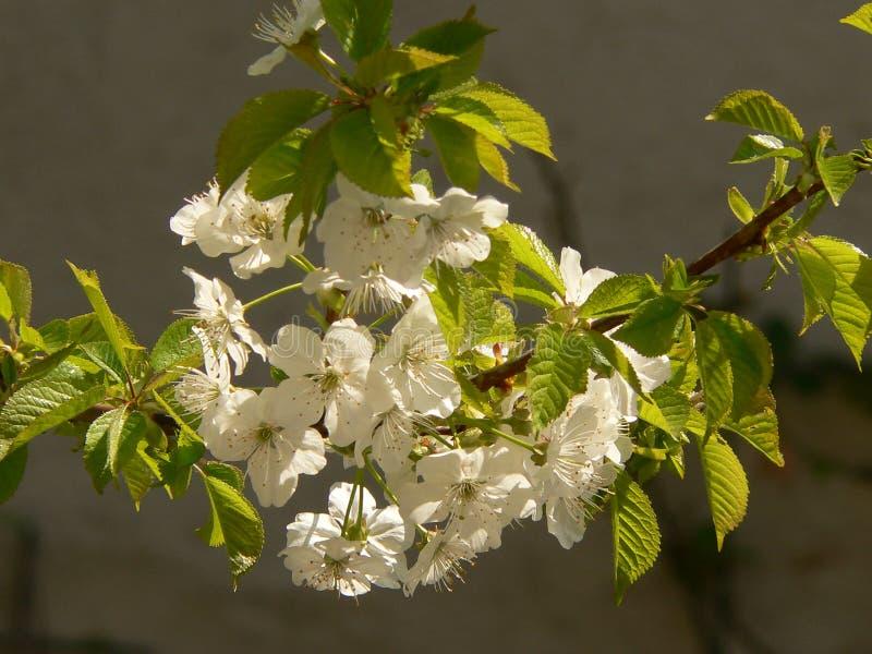 Gelbe Kornelkirsche-Blume lizenzfreies stockbild