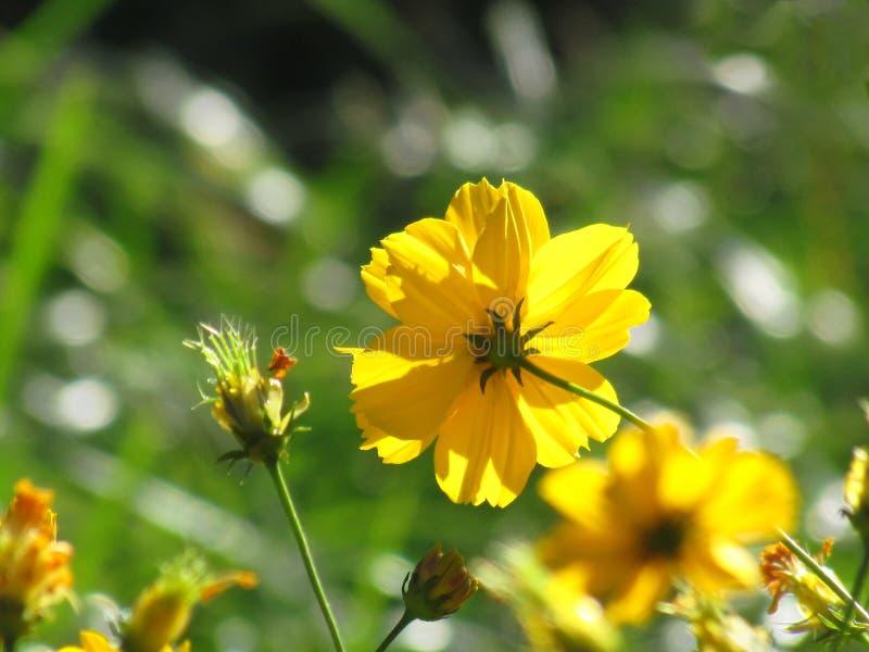 Gelbe Kosmosblume blühen mit der Sonne, die im MO scheint stockbild