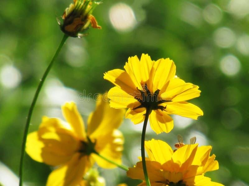 Gelbe Kosmosblume blühen mit der Sonne, die im MO scheint stockfotos