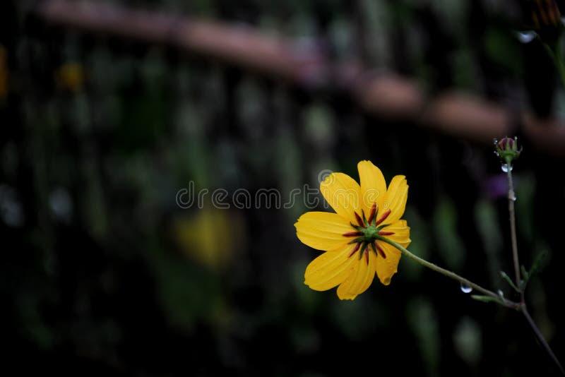 Gelbe Kosmosblume der Nahaufnahme im Garten und im schwarzen Hintergrund lizenzfreie stockbilder