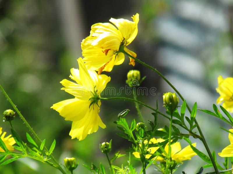 Gelbe Kosmosblume, die mit dem Wind blüht und beeinflußt stockfotografie