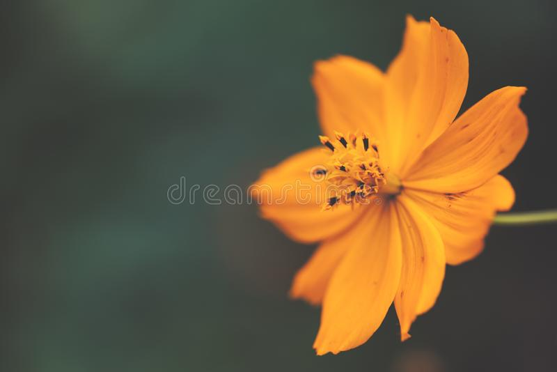 Gelbe Kosmosblume kopf- Kosmos sulphureus- Abschluss oben lizenzfreie stockbilder