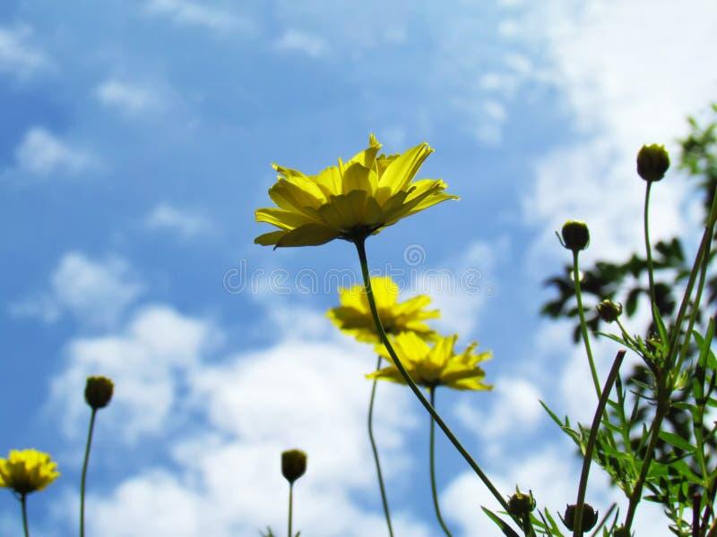 Gelbe Kosmosblume und grüne Blätter mit Sonnenscheinmorgen lizenzfreies stockbild
