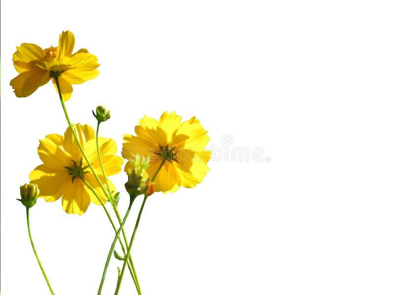Gelbe Kosmosblumen, die auf weißem Hintergrund blühen Selektive FO stockfotos