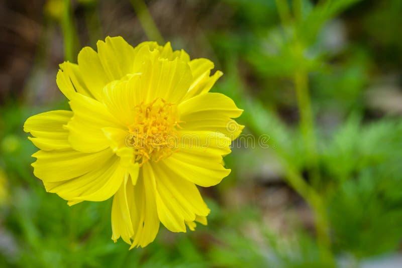 Gelbe Kosmosblumen, die im Garten blühen lizenzfreie stockbilder
