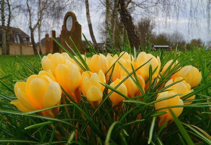 Gelbe Krokusblumen auf Bodenhöhe lizenzfreie stockbilder