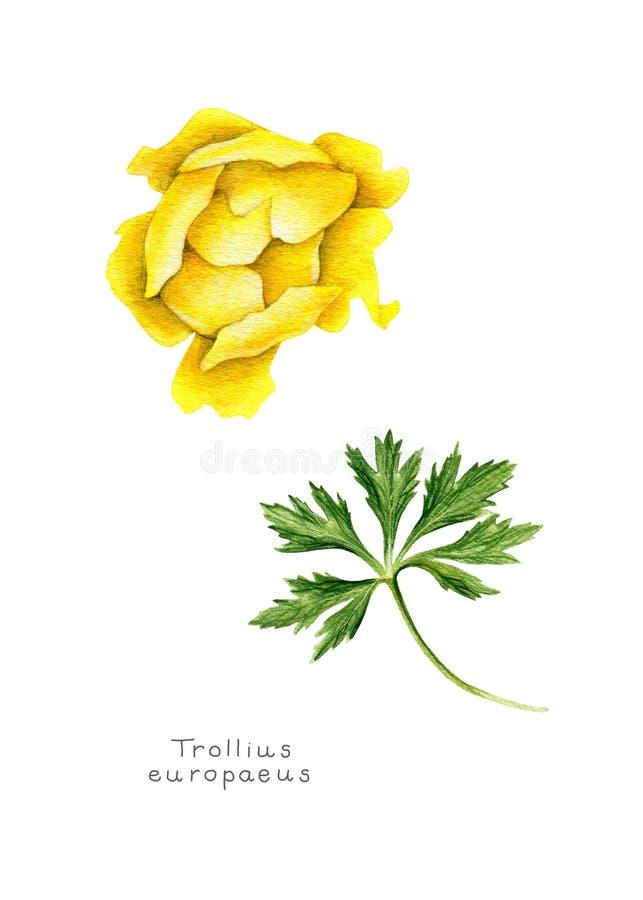 Gelbe Kugelblume mit Blatt lizenzfreies stockbild
